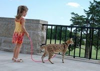 2011 World's Tallest Cat, Tallest and Longest domestic cat picture, Scarlett's Magic cat video