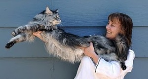 World's Longest Domestic Cat photo, Stewie picture, World's Longest Domestic Cat video, Reno has broken the Guinness world record, 2011 World's Longest Domestic Cat, Longest Domestic Cat in the world, World's Longest Cat
